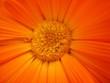 Leinwandbild Motiv Fleur orange