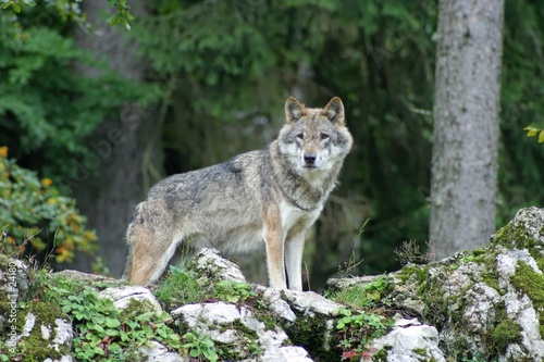 Stickers pour porte Loup loup