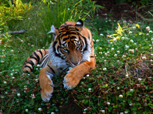 Bengal Tiger Rest And Grooms A...