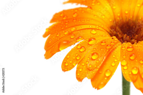 gerber daisy macro with droplets