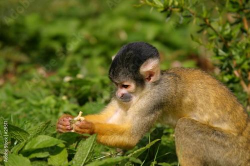 Wallpaper Mural nosy little squirrel monkey
