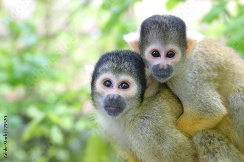 Photo mother and baby squirrel monkey