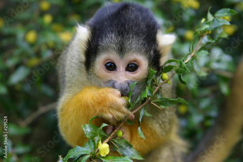 squirrel monkey Canvas Print
