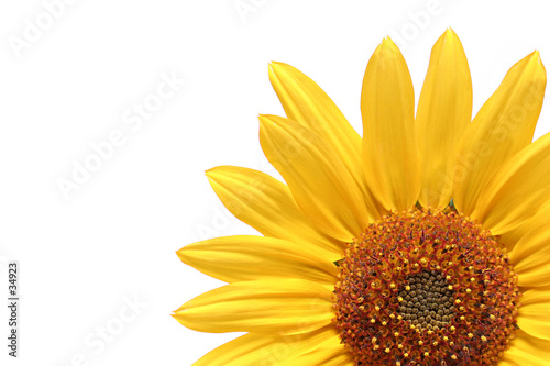 Foto-Kissen - sunflower over white
