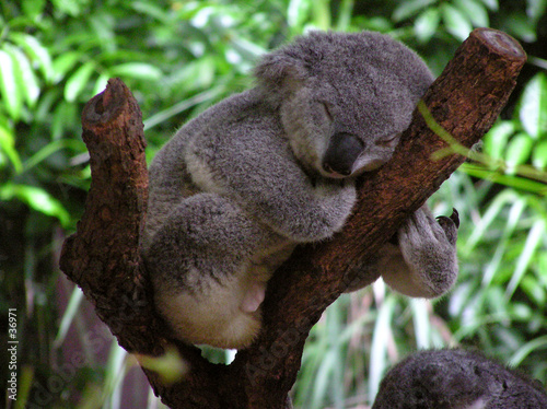 Canvas Prints Koala sleeping koala