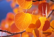 Golden Aspen Leafs