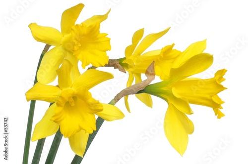 daffodils Wallpaper Mural