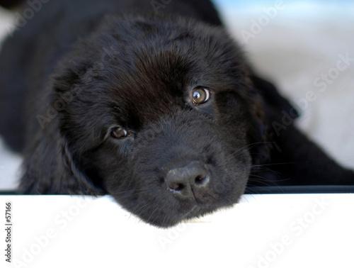 Fotografia newfoundland puppy