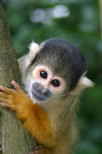 Photo  cute squirrelmonkey