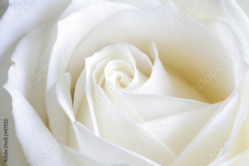 Canvas Prints Roses pure perfection