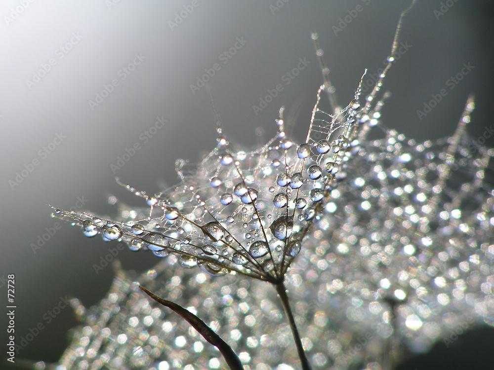 Fototapety, obrazy: waterdrops on dandelion