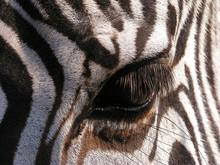 Zebra – Close-up On Eye