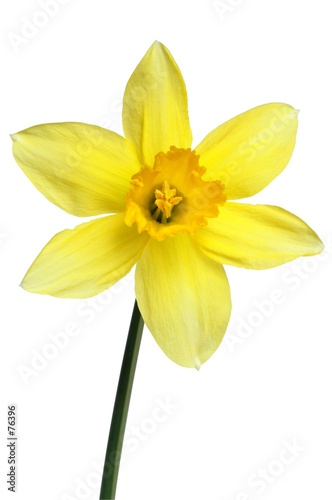 Photographie  daffodil