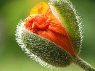 Fototapeta Współczesny orange poppy
