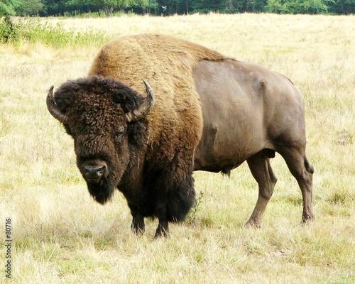 Foto auf Gartenposter Buffel buffalo