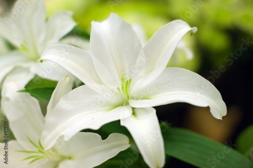 Zdjęcie XXL biała lilly