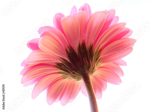 Foto-Duschvorhang - pink gerbera (von Anette Linnea Rasmus)