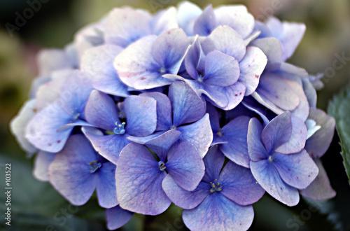 Cadres-photo bureau Hortensia hortensia bleu