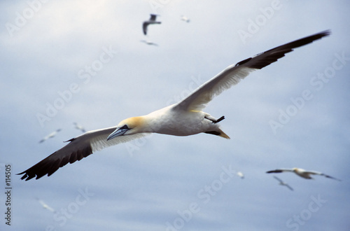 Fototapeta gannet