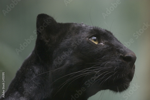 Aluminium Prints Panther black panther