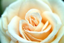 Peach Colored Maid Of Honor Rose