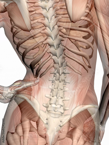 Fotografie, Obraz  anatomy, transparant muscles with skeleton.