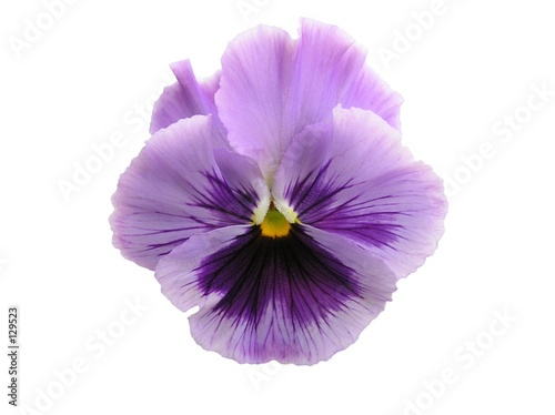 Fotobehang Pansies isolated lavender pansy