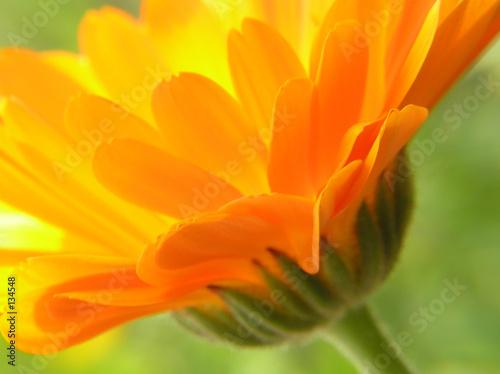 orange gerbera - 134548