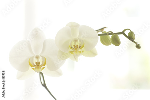 Photo Stands Orchid orchidee 003
