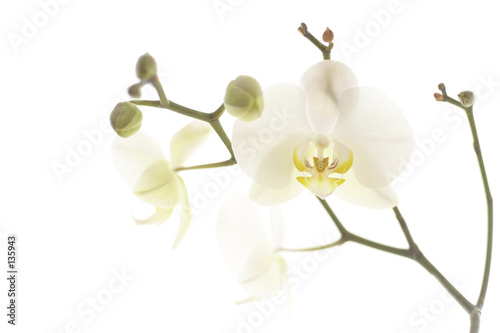 Poster Orchid orchidee 004