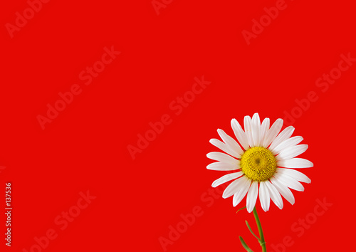 Foto op Aluminium Madeliefjes daisy on red