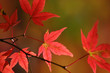 canvas print picture japanese red maple leaves