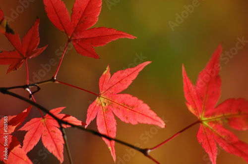 Foto-Vorhang - japanese red maple leaves (von felinda)