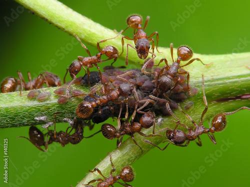 ants & aphis Canvas Print