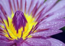 Fleur De Lotus-lotus Flower