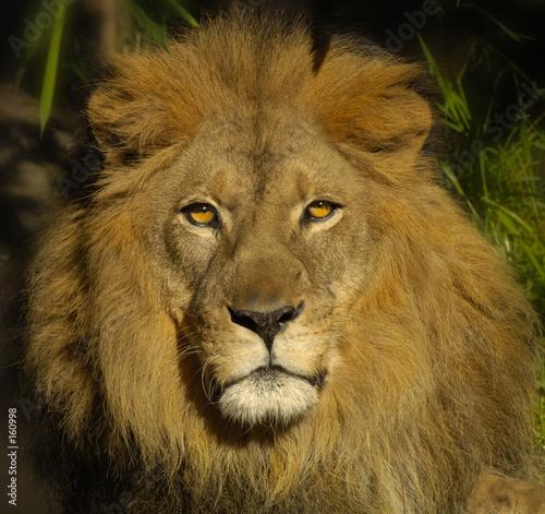 Fotobehang Leeuw lion 7