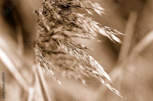 grass in sepia