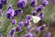canvas print picture - lavendel