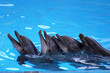 canvas print picture - dolphins play