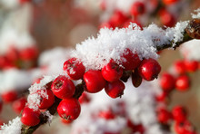 Red Cotoneaster Berries With Snow
