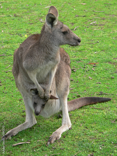 Staande foto Kangoeroe grey kangaroo and joey