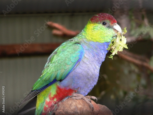Fotografie, Obraz  red capped parrot gather leaves