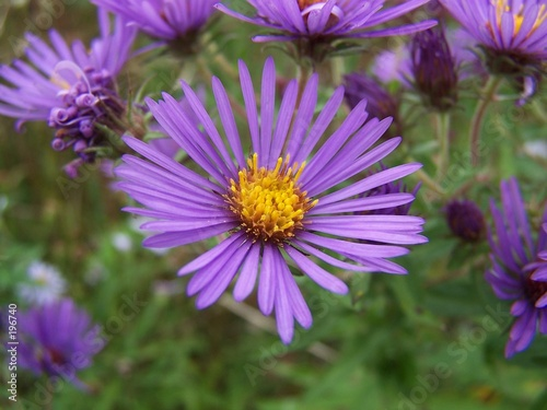 Photo new england aster