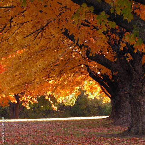 Foto-Vorhang - trees in fall (von Ron Smith)