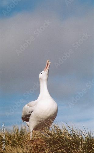 Fotografie, Obraz wondering albatros