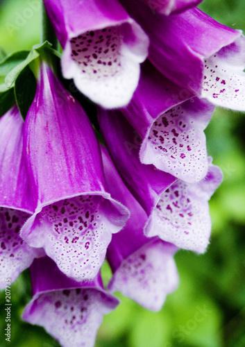 Foto-Lamellen - foxglove in close-up