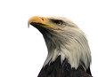 canvas print picture bald eagle, isolated
