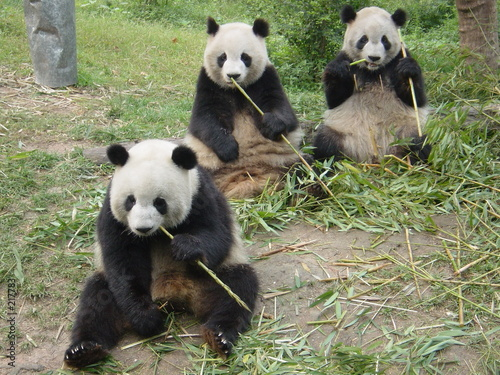 Fotografia pandi-pandas