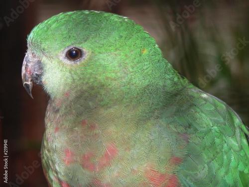 Fotografie, Obraz  king parrot female
