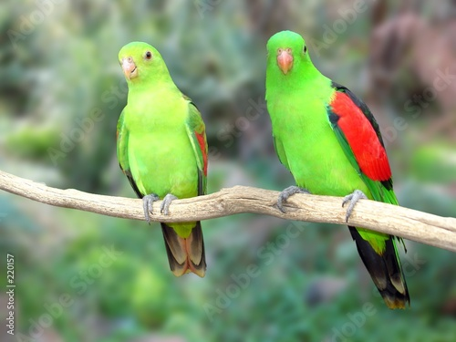 Fotografie, Obraz  a pair of redwinged parrots